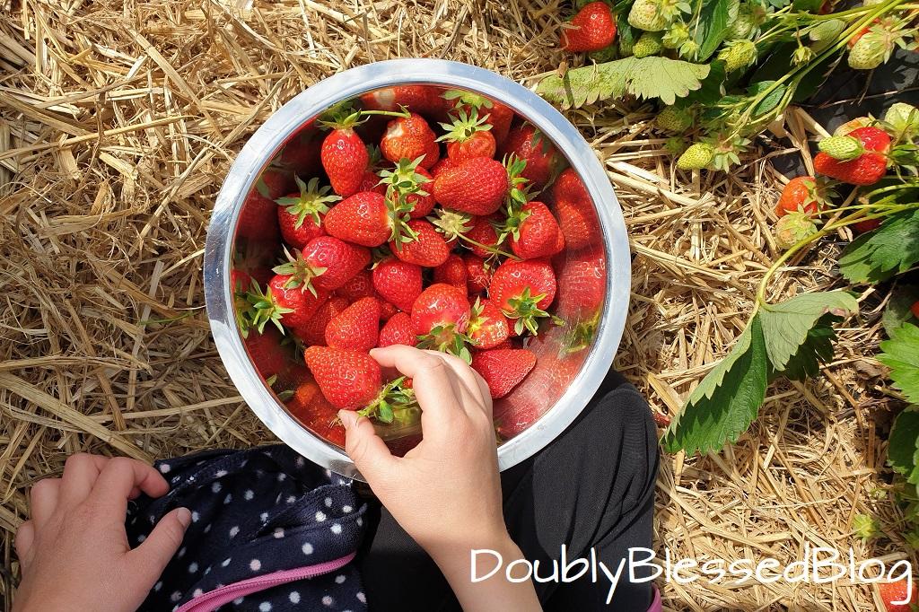 Erdbeeren selbst pflücken auf dem Erdbeerfeld